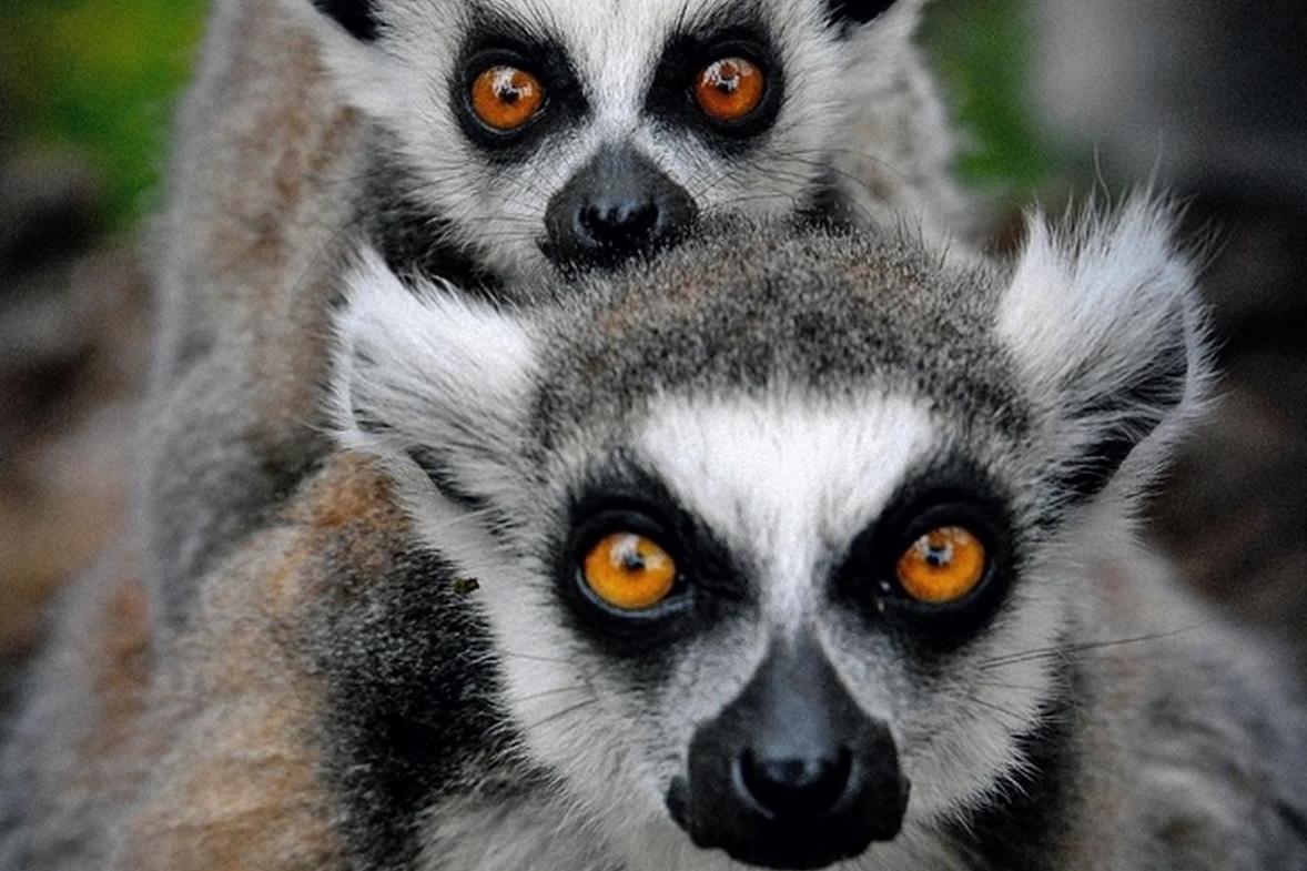 lémurien animal mignon endémique de madagascar